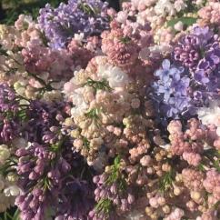 Pastel lilacs