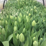 Tulips almost ready to bloom